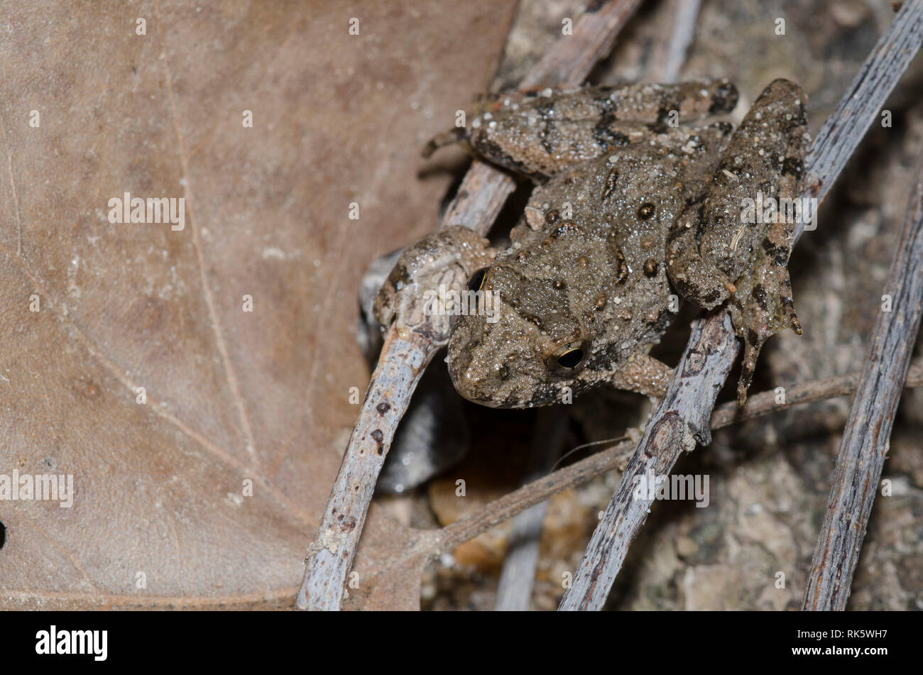 La rana de cricket de Blanchard, Acis blanchadi Foto de stock