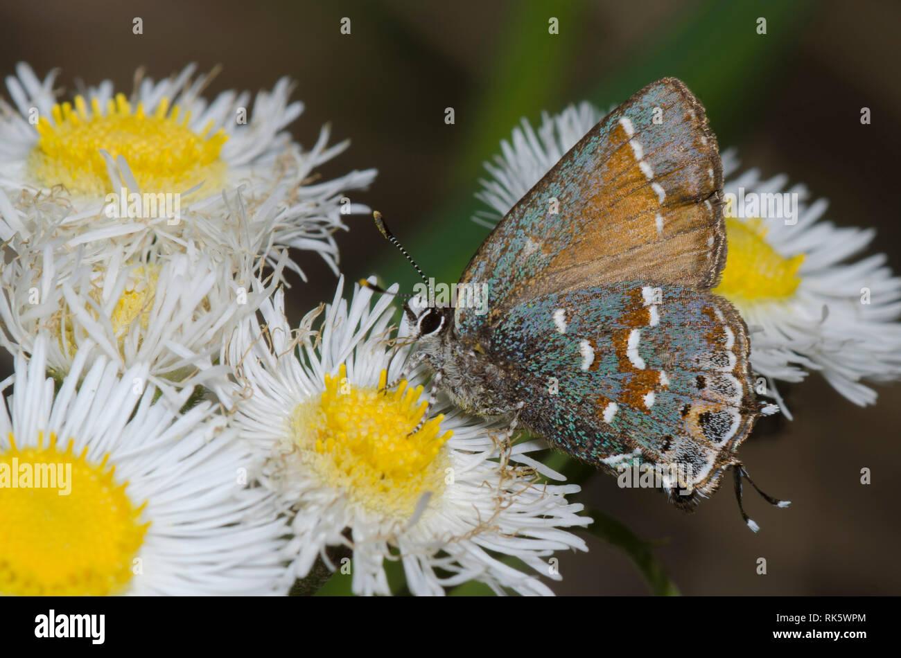 Juniper, Callophrys Hairstreak nectaring gryneus, desde fleabane, Erigeron sp. Foto de stock