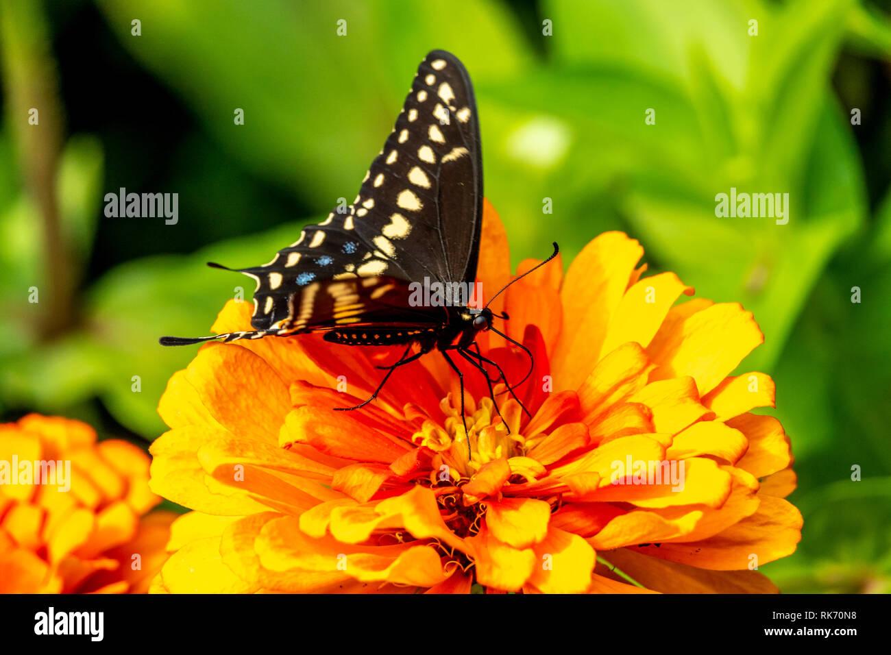 Papilio Troilo, el spicebush especie o verde-nublado butterfly, es una especie común mariposa Foto de stock