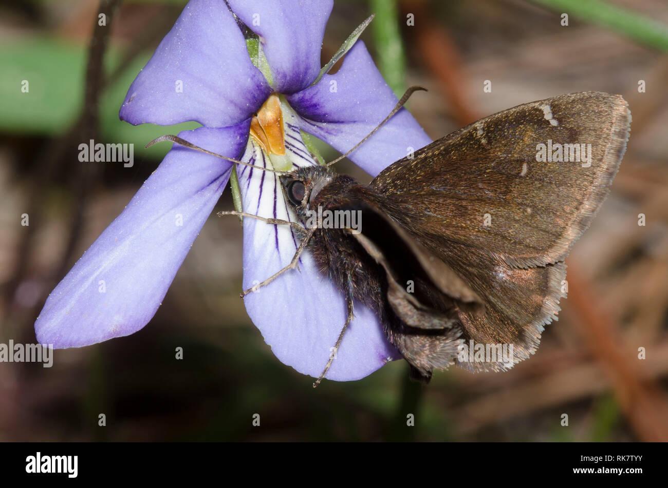 Norte, Thorybes pylades Cloudywing, macho en el Bird's-pie violeta, Viola pedata Foto de stock