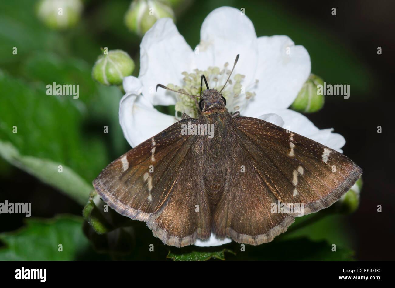 Sur, Thorybes Cloudywing nectaring bathyllus, desde blackberry, Rubus sp., blossom Foto de stock