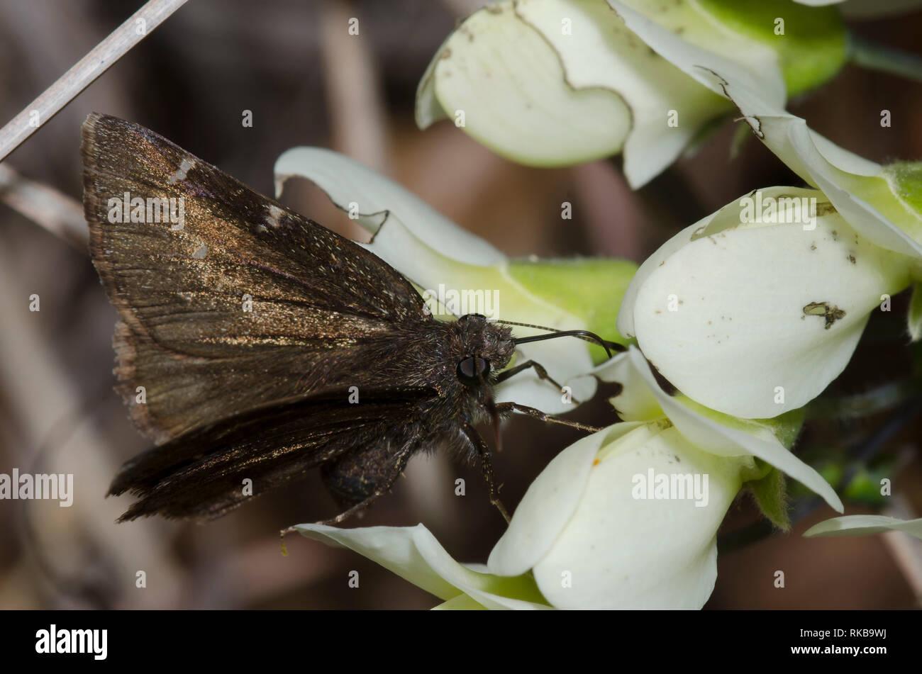 Norte, Thorybes pylades Cloudywing, hembra nectaring de crema, Índigo Baptisia bracteata salvaje Foto de stock