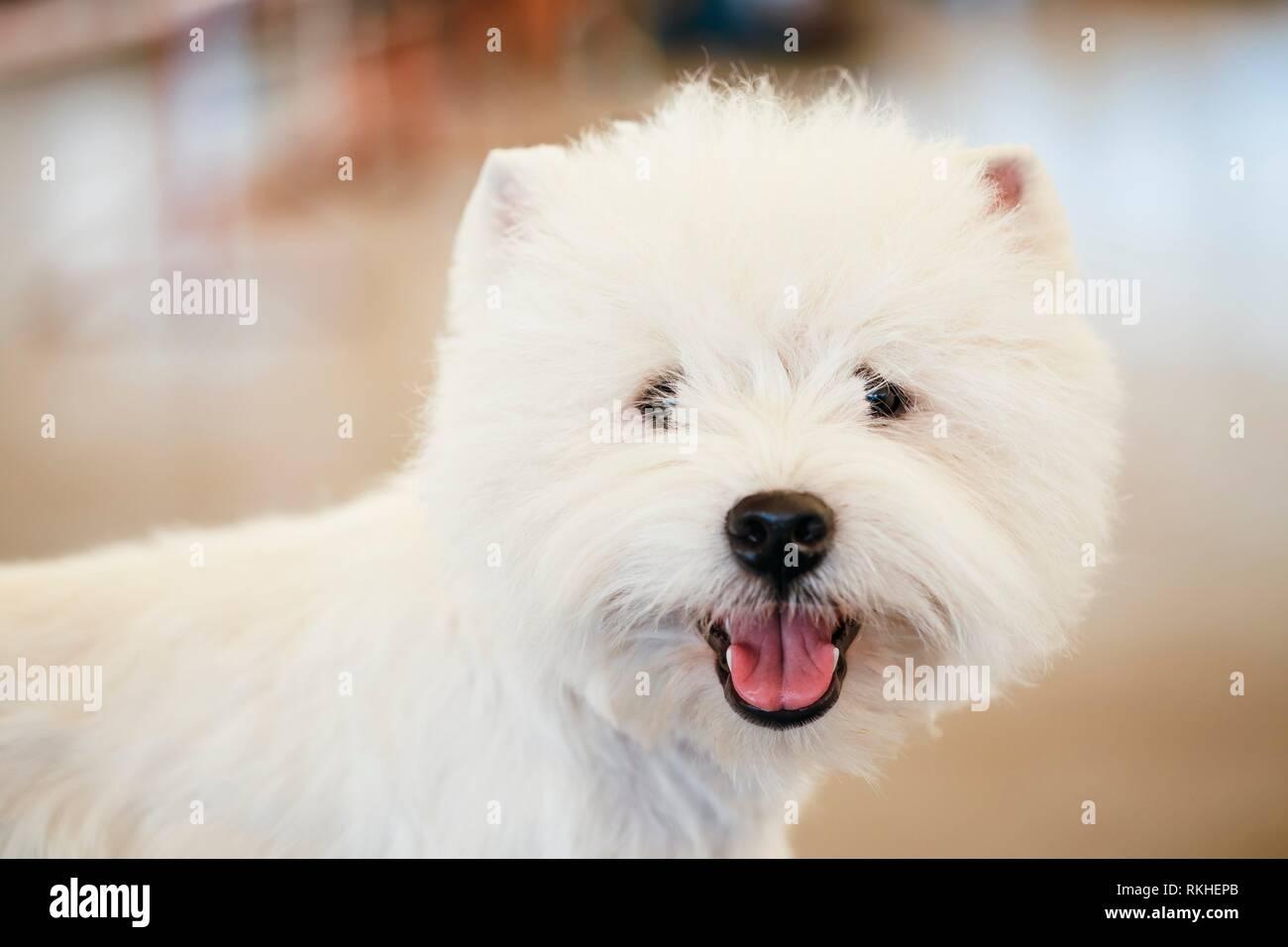 Blanco de West Highland White Terrier (westie) perro Westy, cerca de retrato. Foto de stock