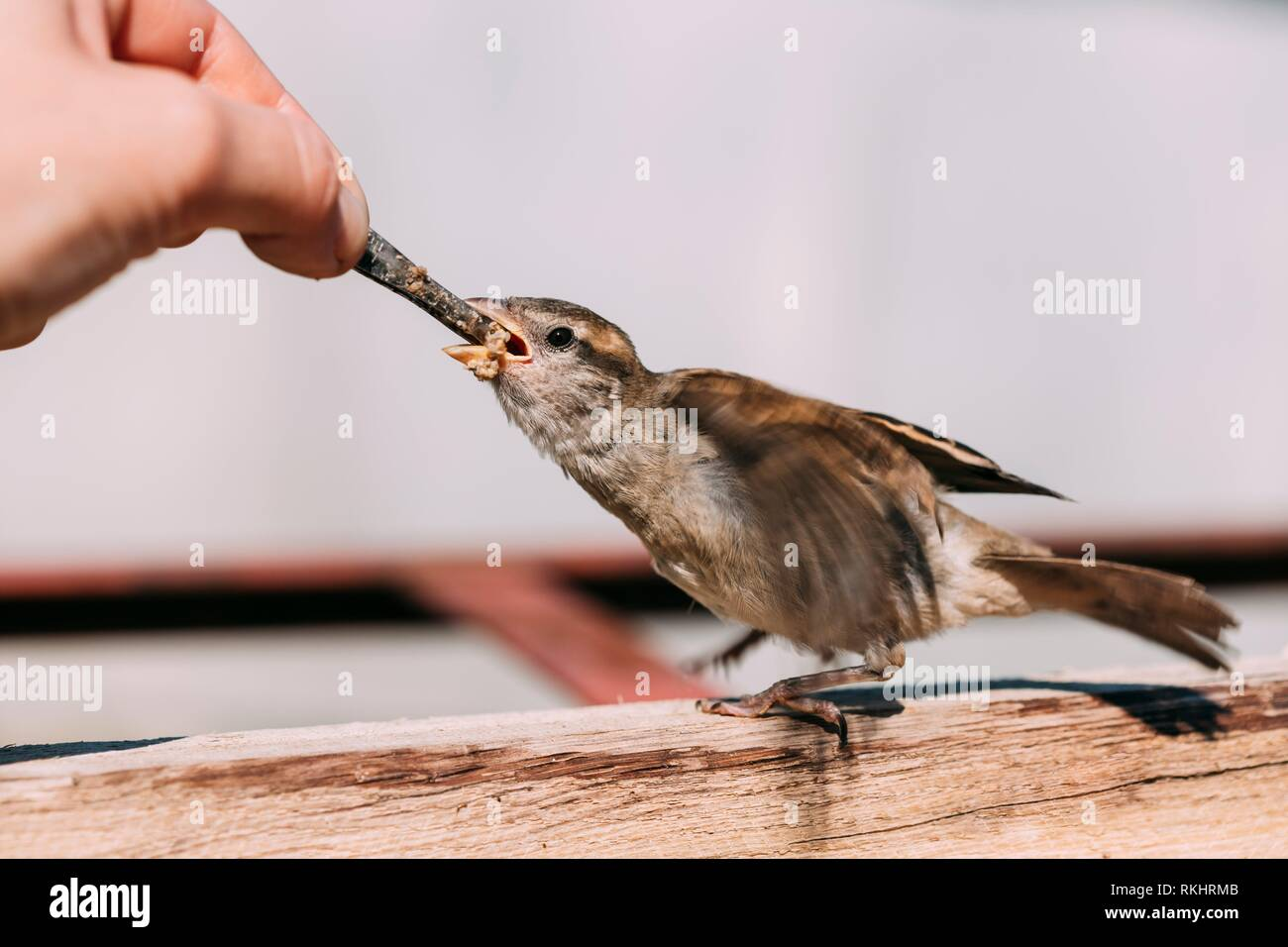 Alimentación de la joven chica, pájaro Gorrión Yellow-Beaked Passer domesticus. Foto de stock