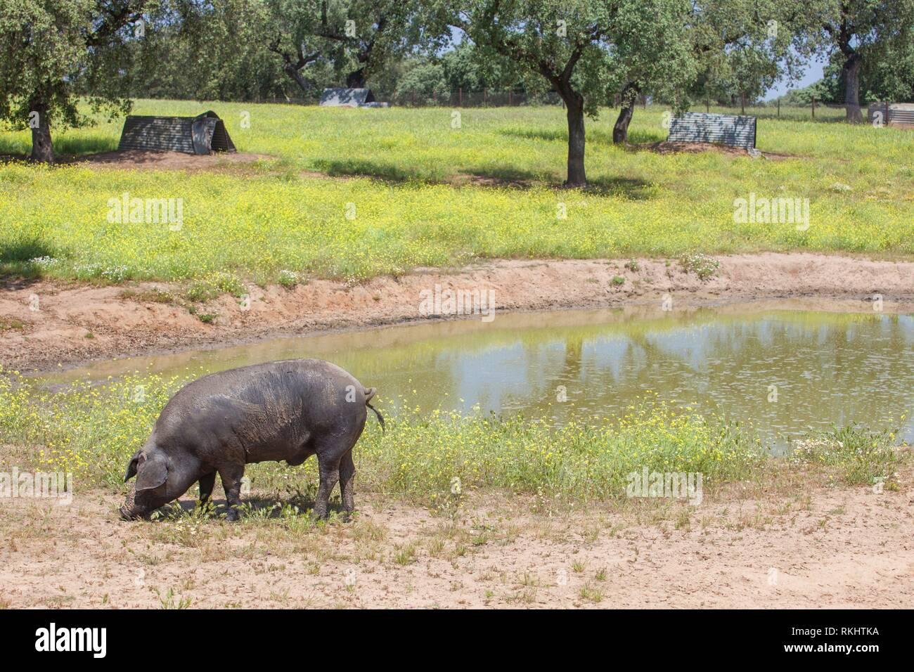 Osciló freeley negro de cerdo ibérico en primavera. Glabro, la raza de cerdo ibérico. Extremadura, España. Foto de stock