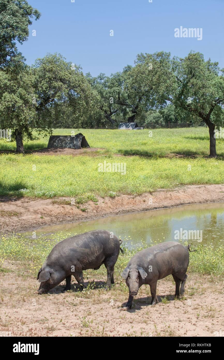 Osciló freeley negro de cerdos ibéricos en primavera. Glabro, la raza de cerdos ibéricos. Extremadura, España. Foto de stock