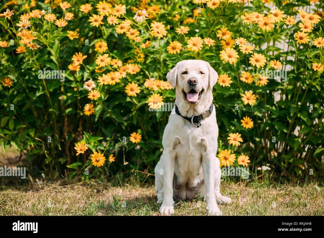 Sonriendo con la lengua, mirando a los ojos amarillo Golden Labrador hembra adulta de perro sentado posando en el jardín de césped cortado. Las flores de color amarillo brillante Foto de stock
