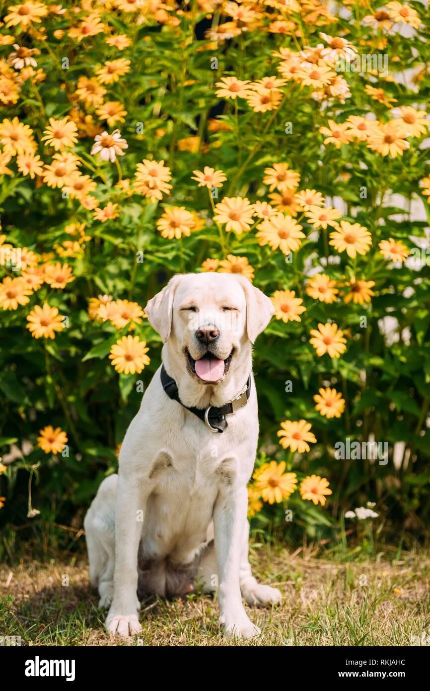 Sonriente Golden Labrador amarillo perro adulto hembra con los ojos cerrados sentado plantean sobre el césped del jardín recortados. Las flores de color amarillo brillante de fondo. Foto de stock