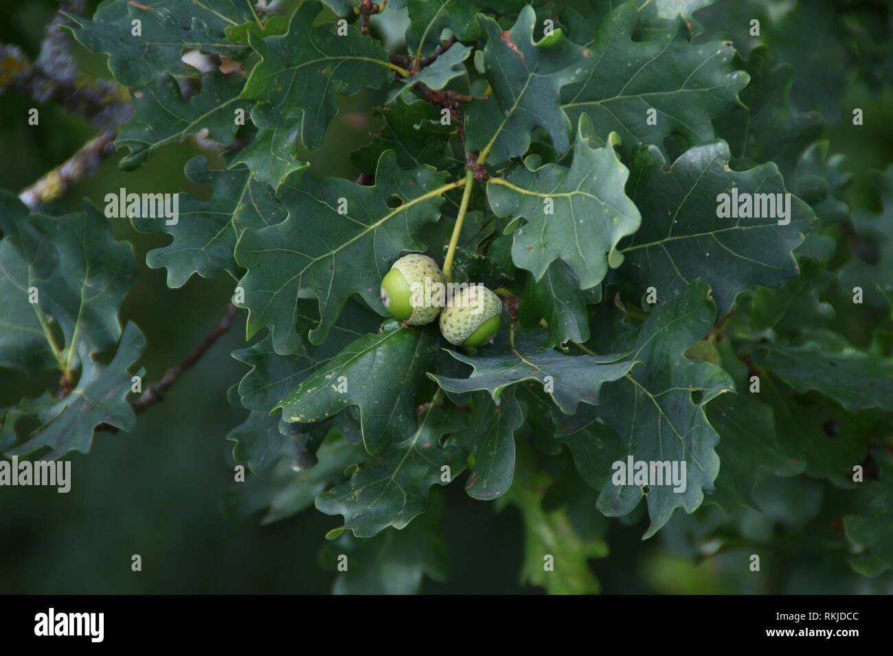 Bellotas / Corns verdes en el árbol .fruit Foto de stock