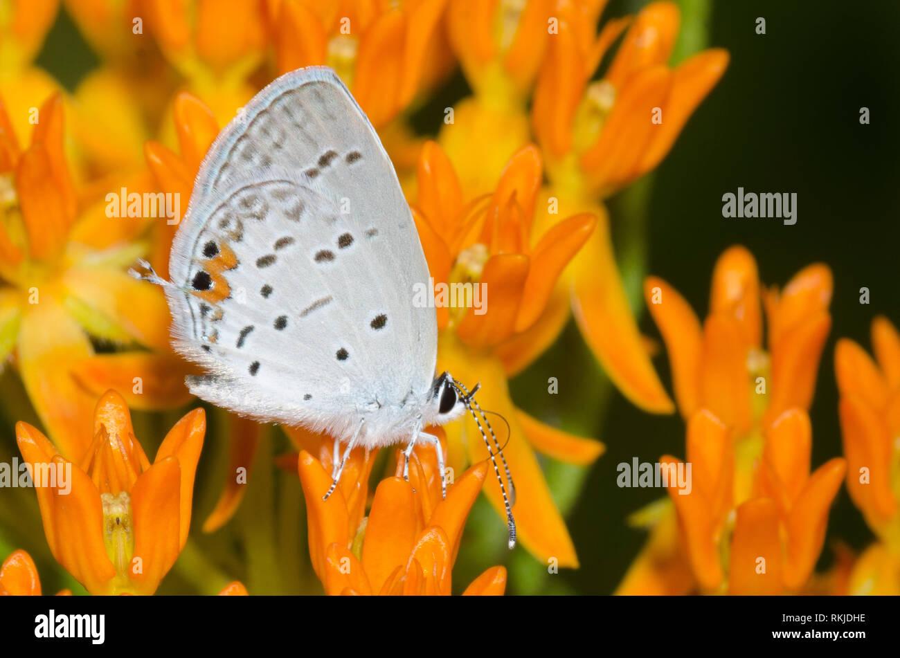 Oriental, Cupido comyntas Tailed-Blue, sobre naranja, Asclepias asclepias tuberosa Foto de stock