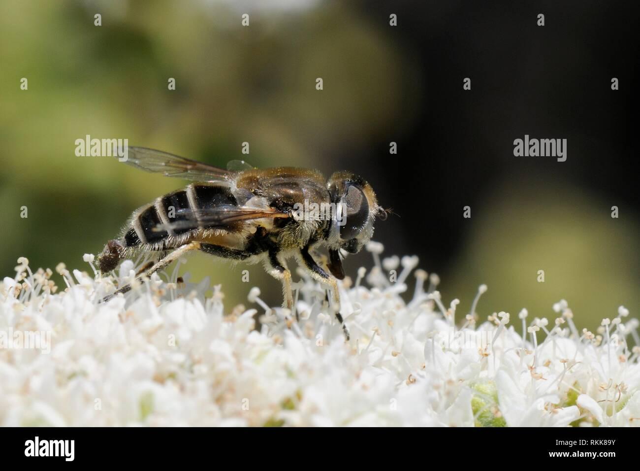 Hover-fly (Eristalis arbustorum) alimentando desde Creta flores de orégano (Origanum onites), Lesbos / Lesvos, en Grecia, en mayo. Foto de stock