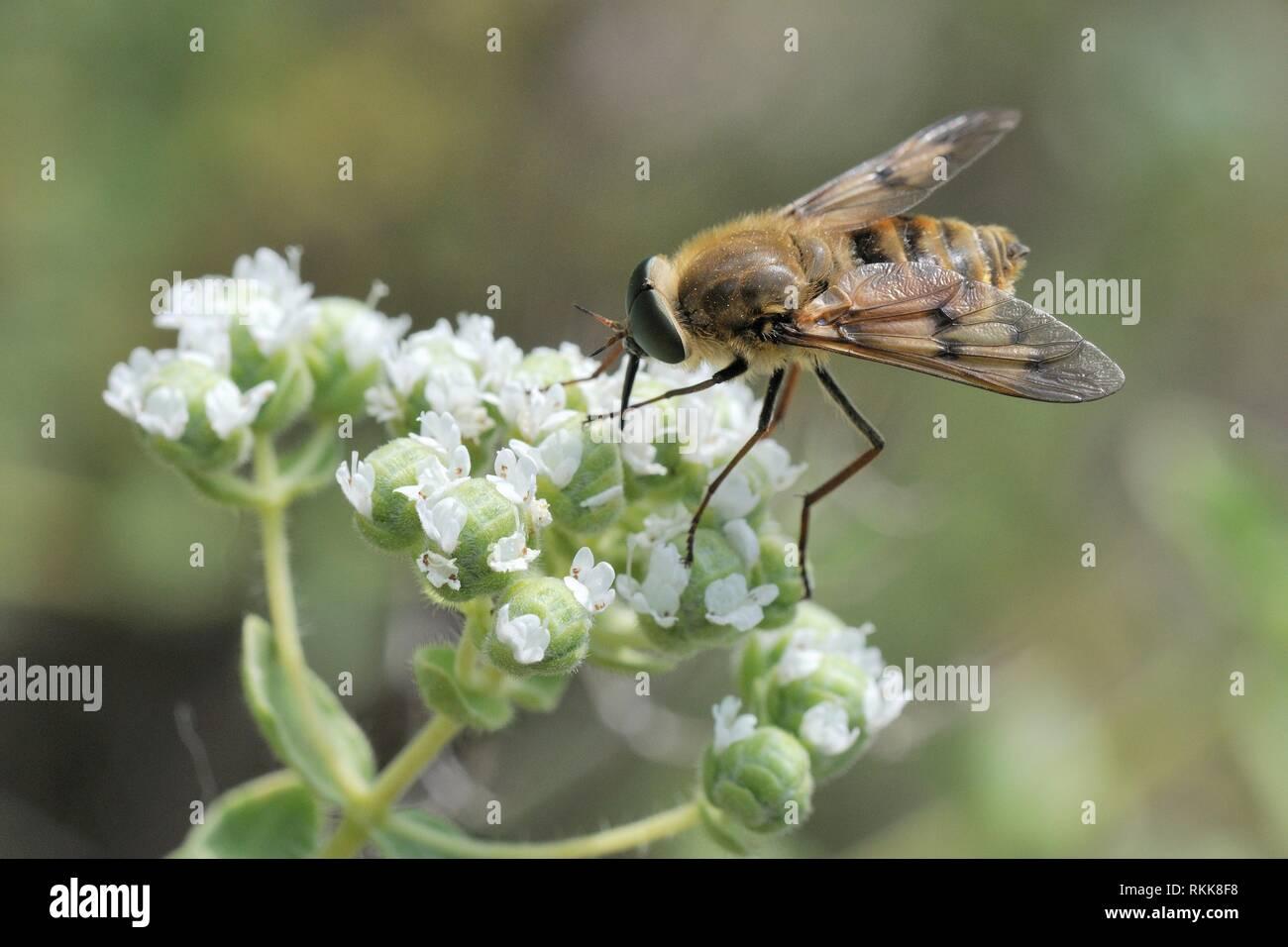 Un néctar estrictamente materna especies de mosca (Caballo Pangonius pyritosus) con una muy larga probóscide forrajeando en orégano (Origanum onites cretense) flores, Foto de stock