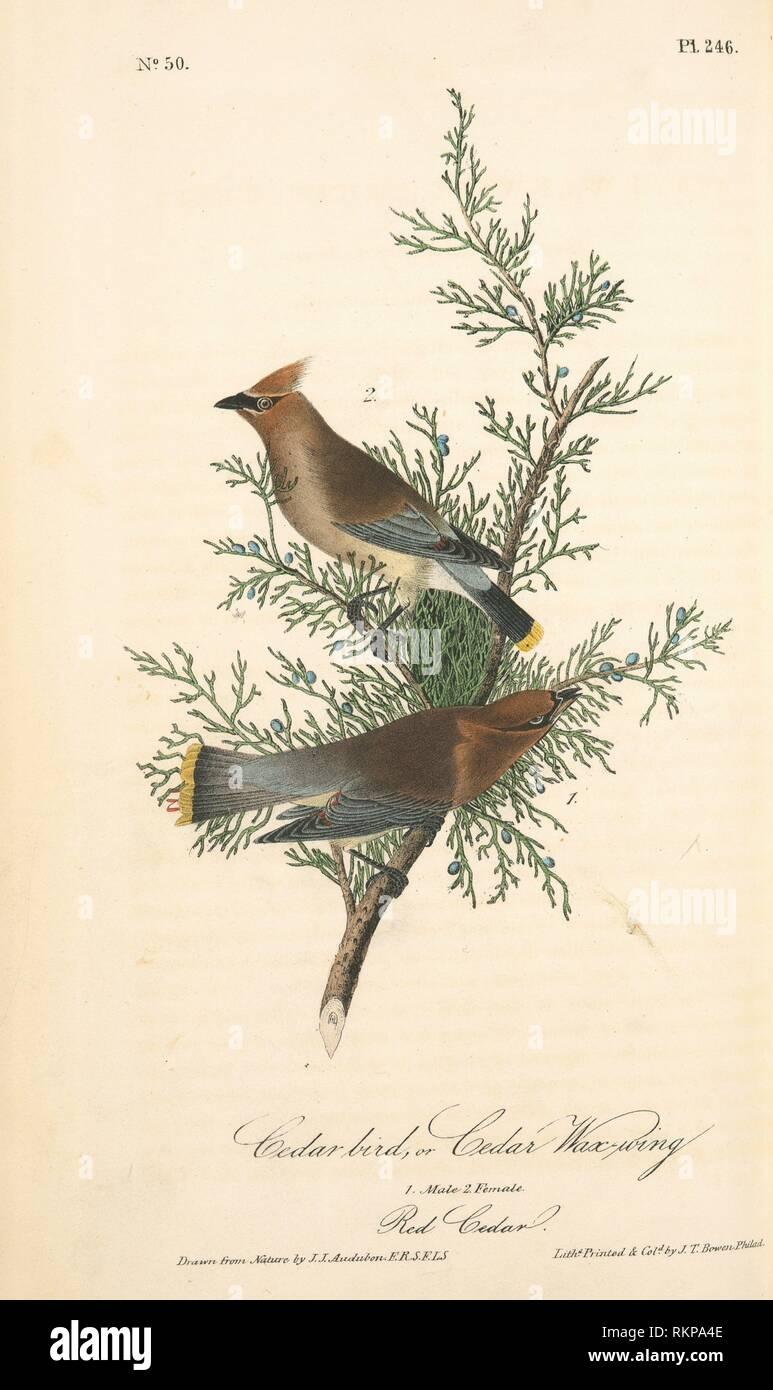 Cedar Ave, Cedro o cera-ALA. 1. Macho. 2. Hembra. (Cedro Rojo. [Juniperus Virginiana]). John James Audubon, 1785-1851 (artista). Las aves de Imagen De Stock