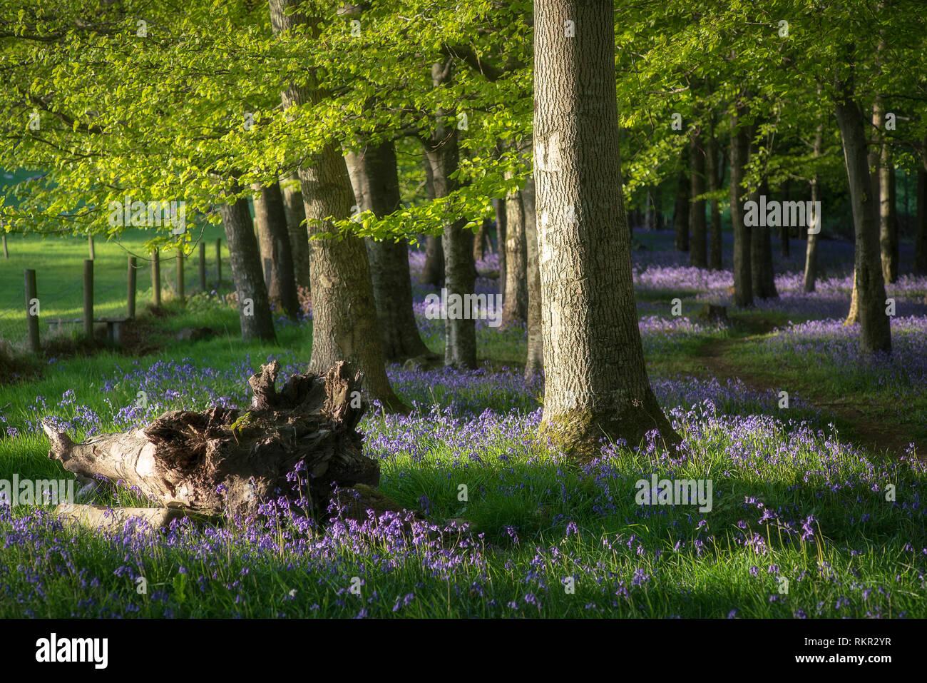 Los árboles en una alfombra de blooming campanillas en Tollymore, Irlanda del Norte. Foto de stock