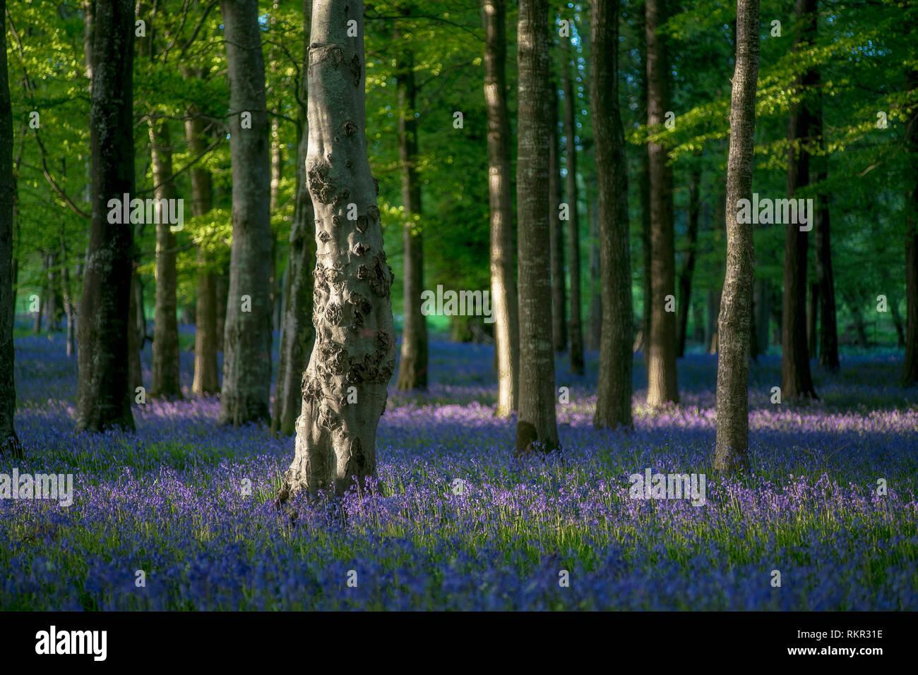 El piso del bosque cubierto con blooming campanillas en Tollymore Park, Irlanda del Norte. Foto de stock