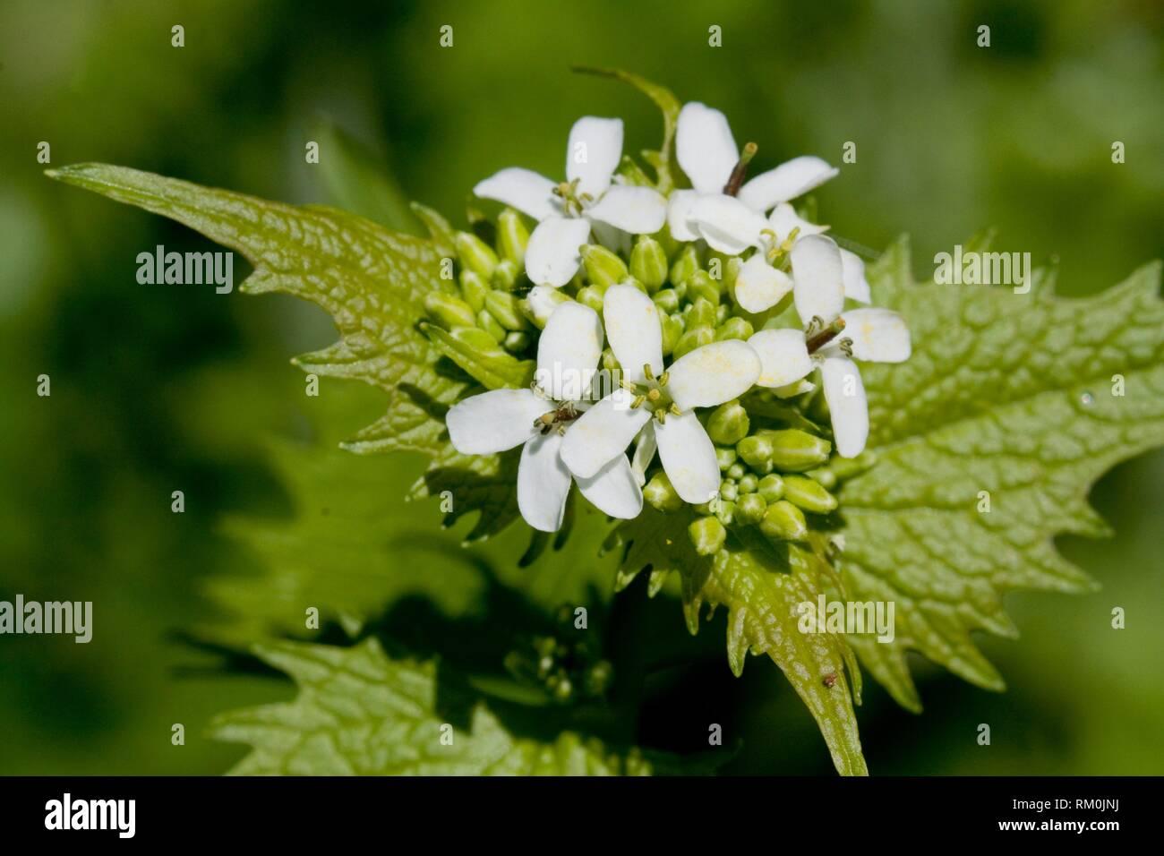 Alliaria petiolata ajo, Mostaza. Foto de stock