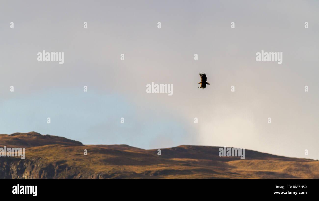 Águila de Mar de cola blanca (Haliaeetus albicilla) volando sobre los acantilados arriba Carsaig en la isla de Mull, Escocia Foto de stock