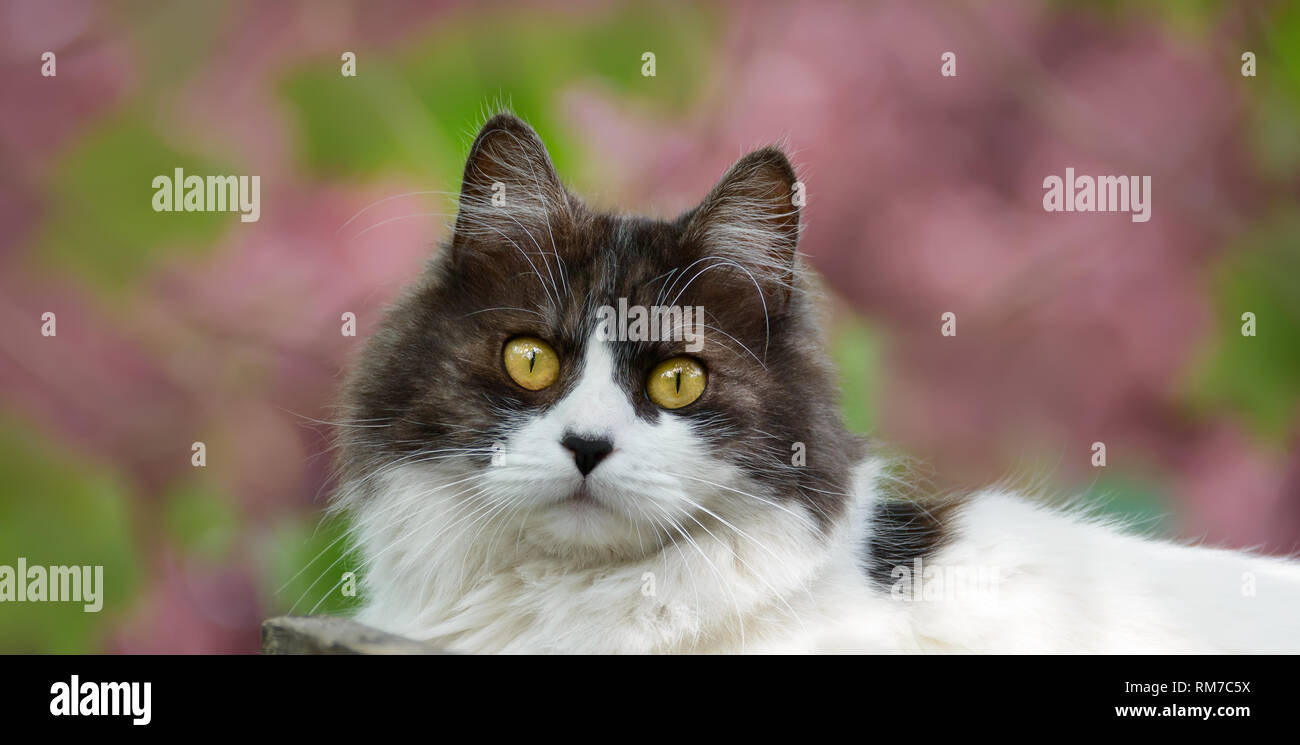 Blanco Y Negro Longhair Cat Con Ojos Amarillos Un Bonito Retrato