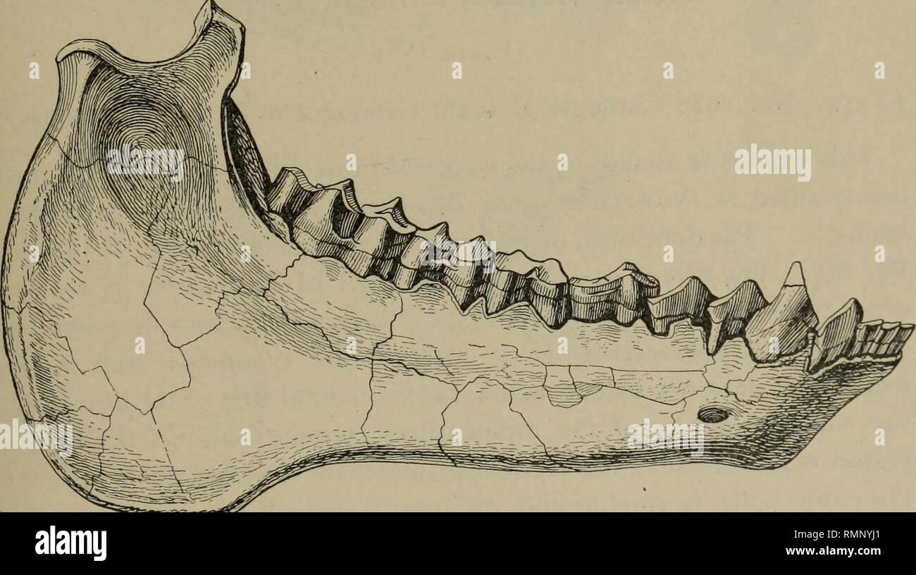 . Anales del Museo Carnegie. Carnegie Carnegie Museum; el Museo de Historia Natural; historia natural. Fig. 2. Vista lateral de las mandíbulas superiores e inferiores de Mesoreodon megalodon. nat. tamaño. Tipo. Nº 1325. Fig. 3. Vista externa de la mandíbula izquierda de Mesoreodon megalodon. nat. tamaño. Paratype, nº 1323. podrán indicarse diciendo que en la actualidad los especímenes los dientes son relativamente más pesados, los molares tienen un diámetro ligeramente mayor anteroposterior, la dentición está más concurrido ; el occipucio probablemente *Am. Nat, vol. XXVII., pág. 661 (1893) ; Trans. Amer. Philos. La sociedad, vol. XXVIII., pp. 125-145(1 Foto de stock