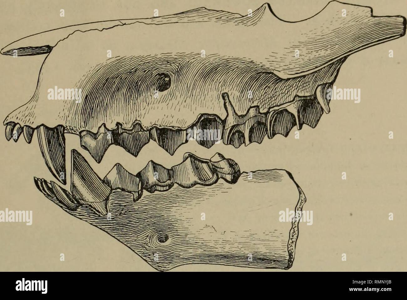 . Anales del Museo Carnegie. Carnegie Carnegie Museum; el Museo de Historia Natural; historia natural. Peterson: Mioceno camas de Nebraska y Wyomin< 25 de las principales diferencias entre Mesoreodon chelonyx, la más conocida de las especies descritas por el Profesor Scott,5 y Mesoreodon megalodon. Fig. 2. Vista lateral de las mandíbulas superiores e inferiores de Mesoreodon megalodon. nat. tamaño. Tipo. Nº 1325. Por favor tenga en cuenta que estas imágenes son extraídas de la página escaneada imágenes que podrían haber sido mejoradas digitalmente para mejorar la legibilidad, la coloración y el aspecto de estas ilustraciones pueden no parecerse perfectamente a los orígenes Foto de stock