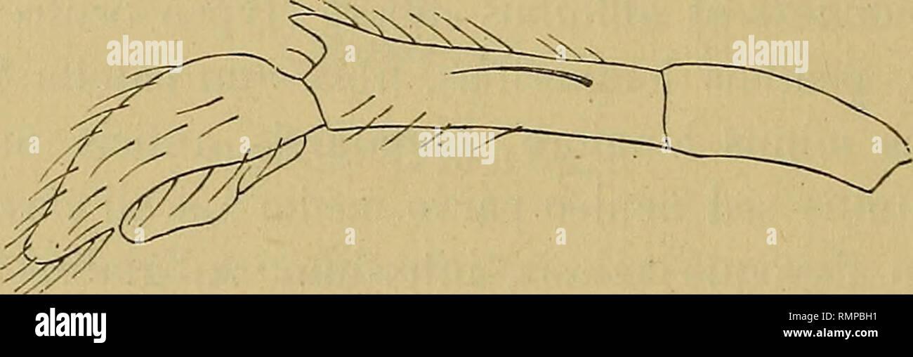 """. Annali del Museo civico di storia naturale di Genova. Historia natural. 3""""52 E. SIMON"""" """"usque ad ])asin scopula lis, quatuor anticis niuticis patellis, libiis quatuor anticis aculeis dorsalibus carentibus, tibia 1' París aculeis inferiorij^us 5-5 munita sed lateralibus carente, tibia 2' París aculeis inferioribus 4-4 aculeoque laterali interiore submedio mu- nita, metatarsis crebre scopulatis aculeis inferioribus ordinariis munitis, sed lateralibus carentibus. Pedes postici numerose aculeati patellis utrinque uniaculeatis, tibiis aculeis dorsalibus instructis trinis. Plaga genital Foto de stock"""