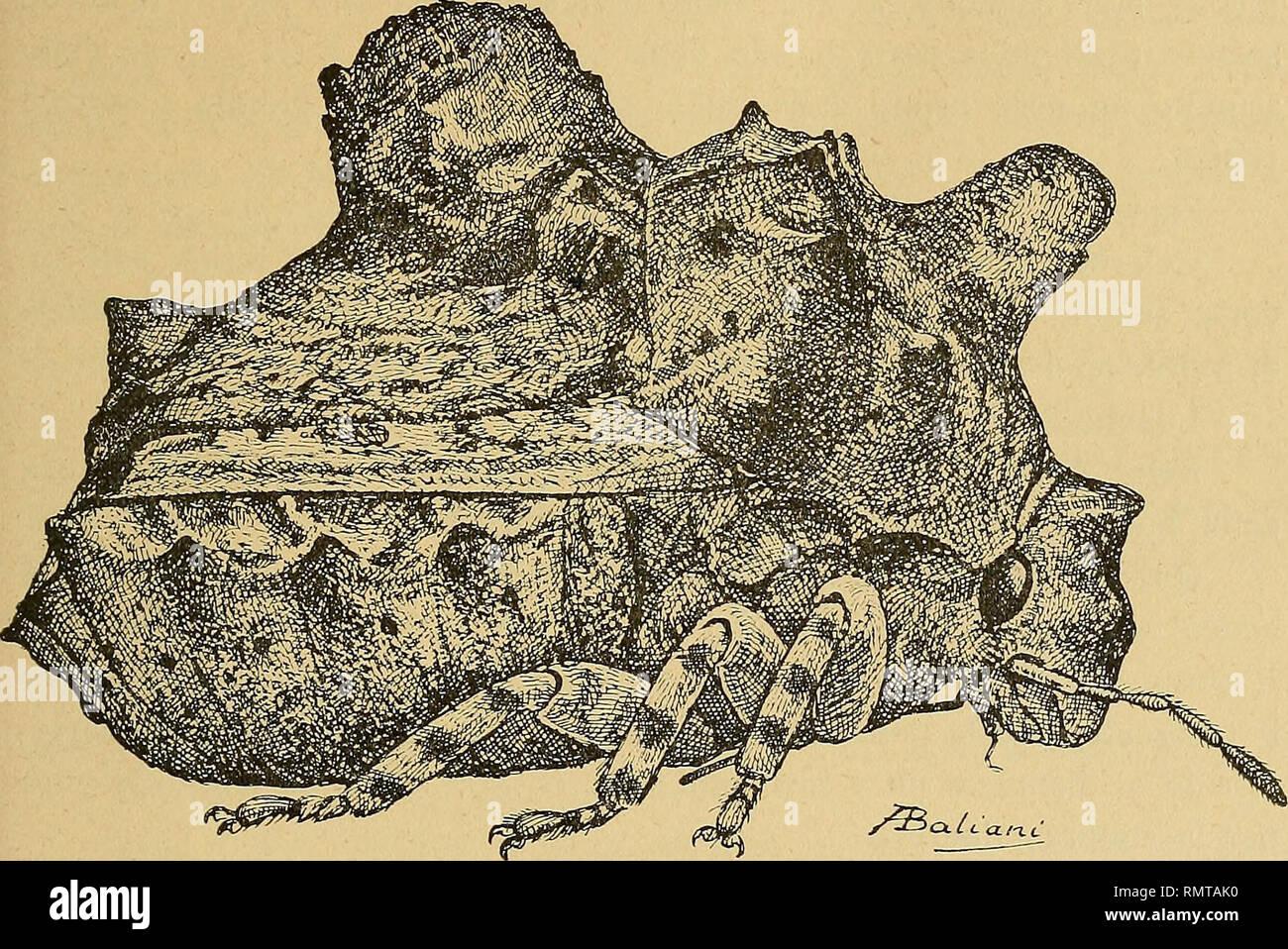 . Annali del Museo civico di storia naturale Giacomo Doria. Historia natural. HEMIPTERA 299 GRAPHOSOMINAE Brachycerocoris Patri zi i n. sp. Corpo tozzo, fortemente convesso, tuberculato, largamente ovoide. Fortemente convesso Capo, declive, cuasi perpendicolare, lungo, subcilin- drico, troncato en avanti, con tre tubercoli onu sul discoteca, grande trian- golare molto sporgente, debido poco più sotto su ogni lato della el base del tilo arrotondati e molto meno sporgenti, tilo libero, ocelos circa il- DOP. Fig. Ili - Brachycerocoris Patrizii n. sp. pio distanti fra loro che la distanza dal loro dagli occhi. R Foto de stock