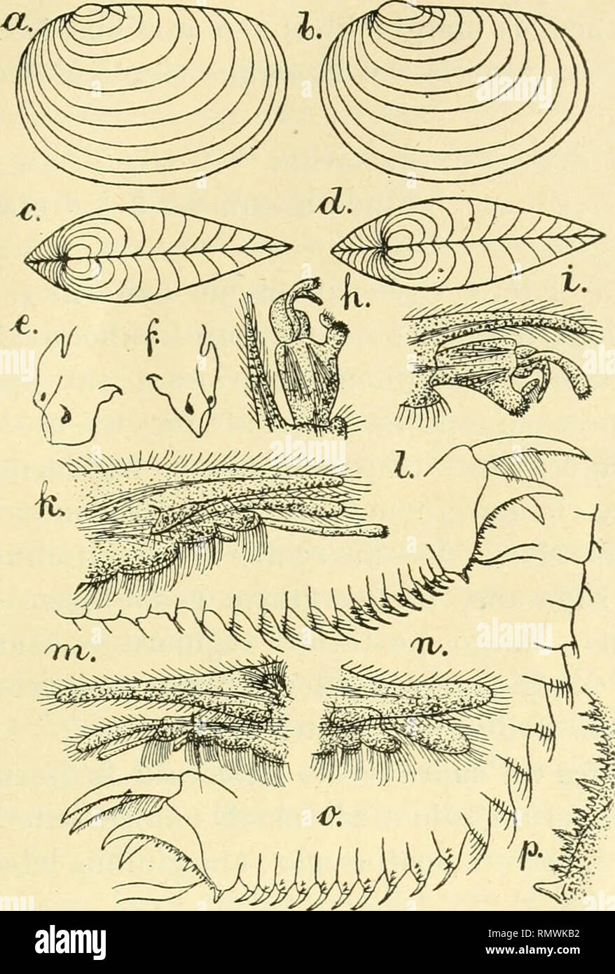 ". Los Annales des Sciences Naturelles. Zoología; Biología. PHYLLOPODES CONCIIOSTRACES 287 3, 3, 5, 7, 1, 3, 3, 5, 5, 5, 5, o 5, 1, 3, 3, 3, 5, 5, o 7, 7 ; vel I, 3, 3,5, 5, 5, 5, 7, 7, ONU mediali ceteris lateralibiis vali- diore; segmenta 9 vel 10 antecedentia setis en série antrorsum. Fig. 64. - Papá inlermedius Cyzicus.n. sp.-una concha a latere, Ç, 1 : 3 cf:6, concha a latere, 1 : 3: c, 9 concha supra visae, 1:3; d 'J conchao supra visac, 1:3; e. un caput"" un latei-e 1 : o: /"" 9, caput un latere, 1:5: G, D* pars apicalls pedum primi París, 1 : 10: /i, 1, <3 pars apiealis pedum 2-di p Foto de stock"
