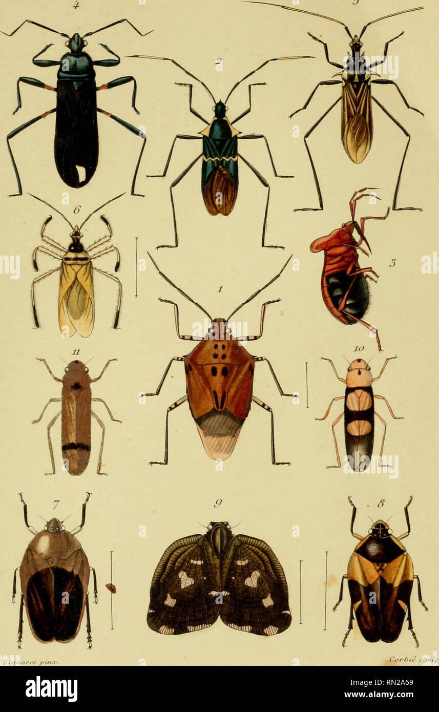 """. Los Annales de la Société entomologique de France. Los insectos; Entomología. Annoir.. ,/R / S, rie TomfllilUCJtrU"""":,. Cori/o/inp/IIS Spiiioltr. Prta/OPS Bnraijuini . S/.)/. /,R<-<u(rii (I/x/onn/ui/ù. Su/, j'ailii/noiniis ofrl/nliis. Si</. Si)iiiii/tr iiiiKiiiti lu. Sùj. El cartn IJfiiitirU/Kv. Sifl. ~. jWoni'c/t/ioru hirolor. S. n /lùàlflS. g. Rii'iiniii sc.inuitulata. lo. Tet/II/onia bisc//alit. ij. Il l'crimiaiui.. Por favor tenga en cuenta que estas imágenes son extraídas de la página escaneada imágenes que podrían haber sido mejoradas digitalmente para mejorar la legibilidad, la coloración y el aspecto de estas ilustraciones ma Foto de stock"""