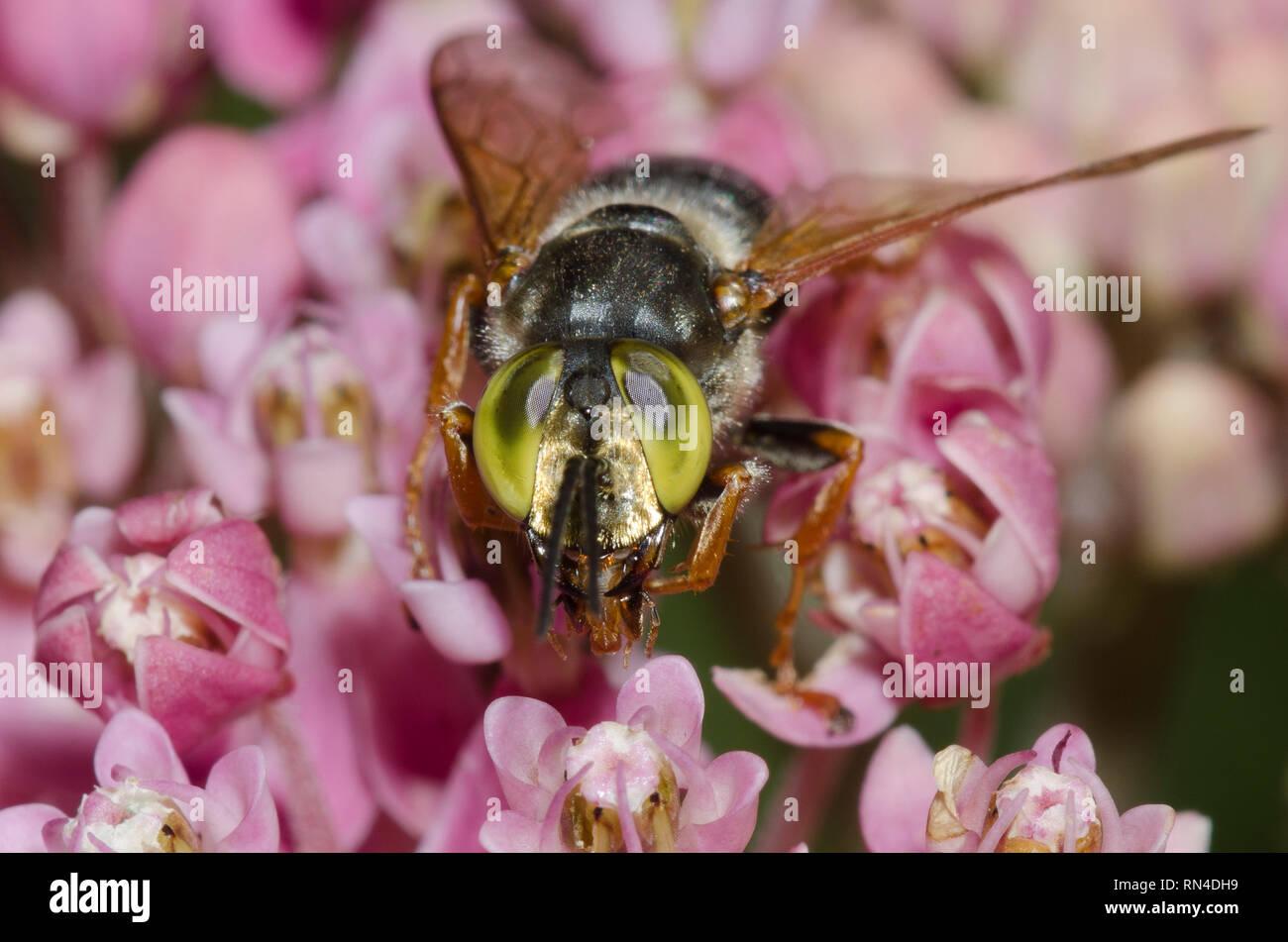 Avispa de cabeza cuadrada, Tachytes sp., el pantano, Asclepias asclepias incarnata Foto de stock