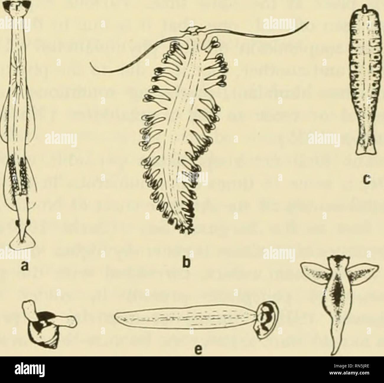 . Ecología animal. Ecología animal. FIG. |C| Cruitaceous 28-3/s, b) osfracod ConcAoecia. c| copépodo Calanus, d) anfípodo, Phronemia, en el vacío de la manto tunicate Salpa. atopods pelágicos. Muchas de estas formas arc también bcntliic o nektonic durante una parte del ciclo de vida. Entre los cordados son notables y a veces abundante tunicados. Los huevos y imma- ture etapas de muchos peces son pelágicas en que absorben suficiente agua poco después de ser spaw^Ned tener casi exactamente la misma densidad que el sur- el agua de redondeo. Los huevos de rayas, algunos de los tiburones, y algunos otros Foto de stock