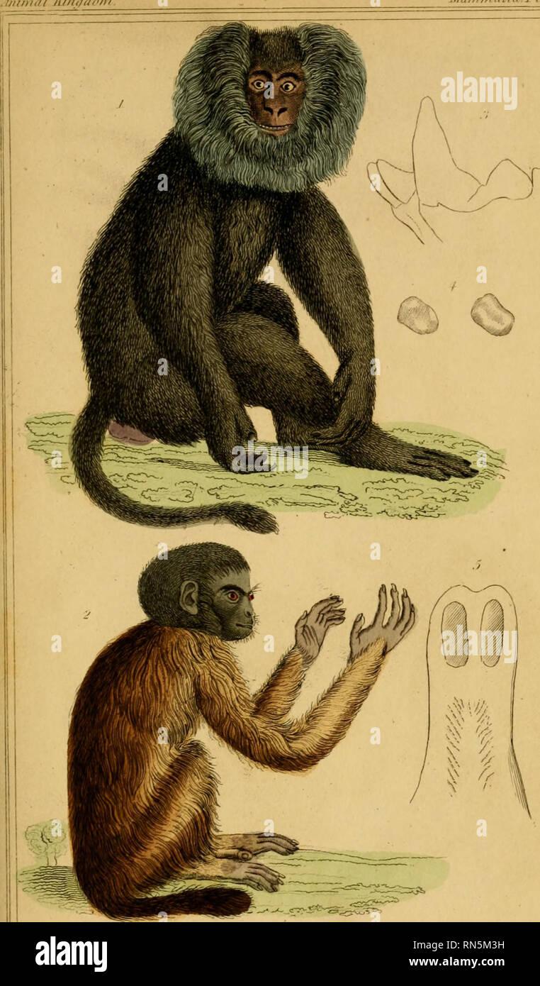 """. El reino animal, ordenadas de acuerdo a su organización, sirviendo como fundamento de la historia natural de los animales : y una introducción a la anatomía comparada (Vol. 1). La zoología. Ji Ijilnutl/'/TI/di Maiiimtihii.ri. 8. 1. Alajvirtis sili-nus rj'l-'Wi iiinimlcri '!. Ia Tidicc liicl;iiuicc )luilii llir fi/rujao/ Zi.- .Trrl/i/hr (IRF noi.cii../Ree>f/: S'llil. S.Xose del Kali, """"r m'srrrlu Mnii ris/llorar. fNa- sali s f.a.vali. s. r.efljf. S! J. IfiU,'ii,lfli. r. /Fri,<l,r.< 1-n'. f'hl /tai/FV. Por favor tenga en cuenta que estas imágenes son extraídas de la página escaneada imágenes que pueden tener Foto de stock"""