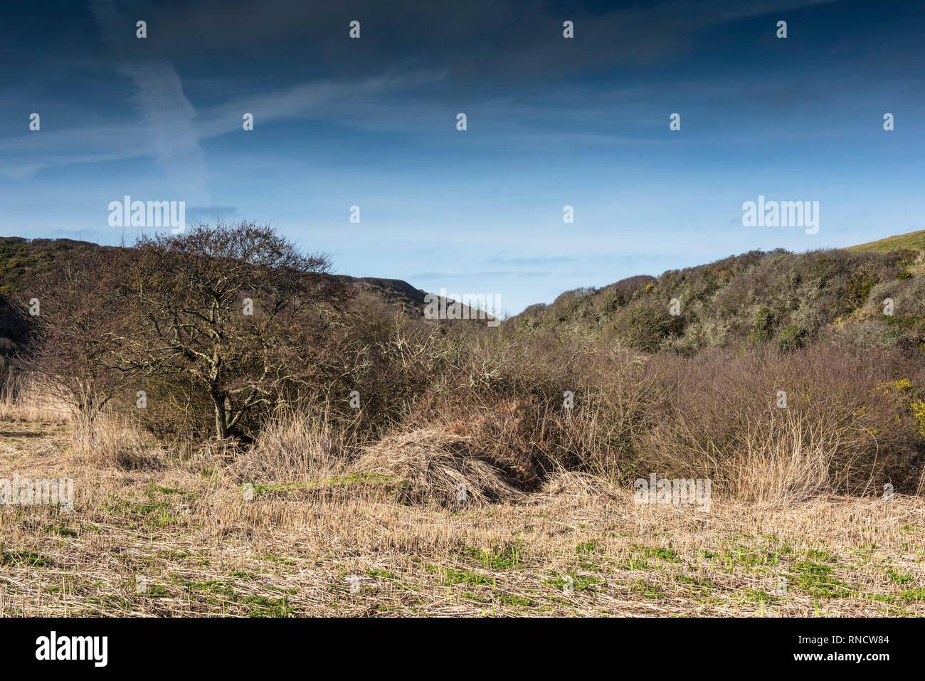 Un lecho de juncos Phragmites australis, que ha sido recortado para fomentar un nuevo crecimiento en el valle oculto que conducen hasta la apartada Porth Mear Cove en Imagen De Stock