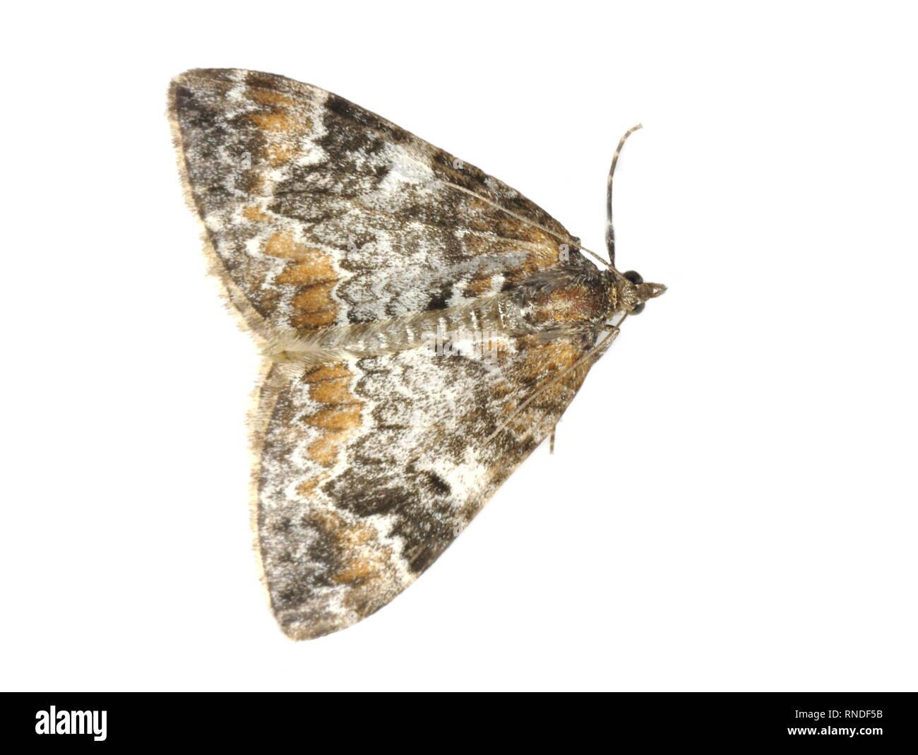 La polilla de la alfombra de mármol oscuro Dysstroma citrata
