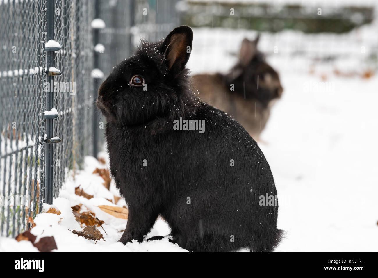 Un conejo enano negro (Lions head) sentados en la nieve. Foto de stock