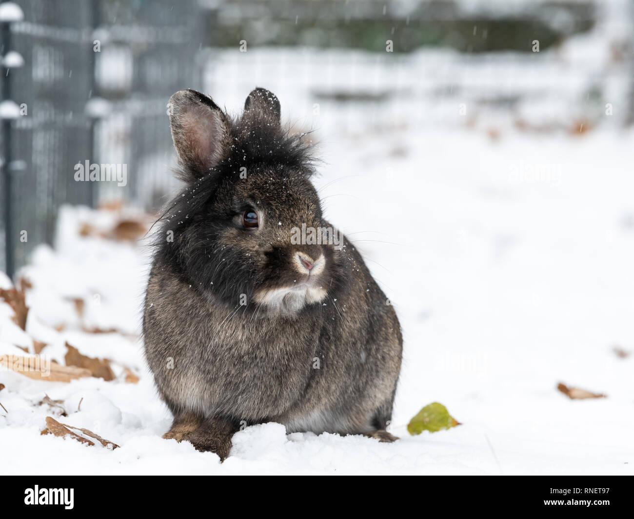 Una enana marrón de conejo (Lions head) sentados en la nieve. Foto de stock