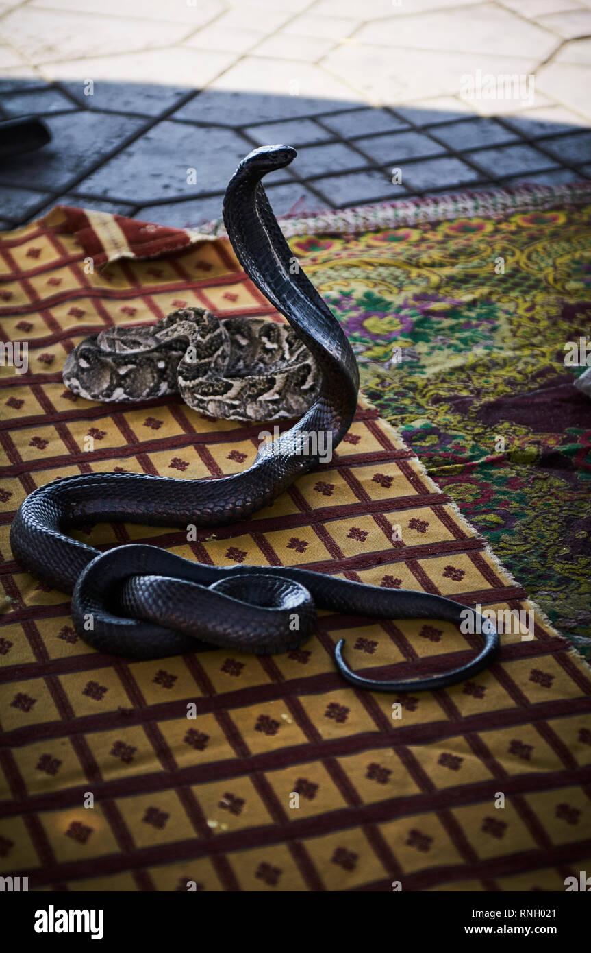 Un domador de serpientes encantos una serpiente Cobra egipcia negro con una flauta.La serpiente bengalas es el capó y levanta la parte superior de su cuerpo en una postura erguida. Imagen De Stock
