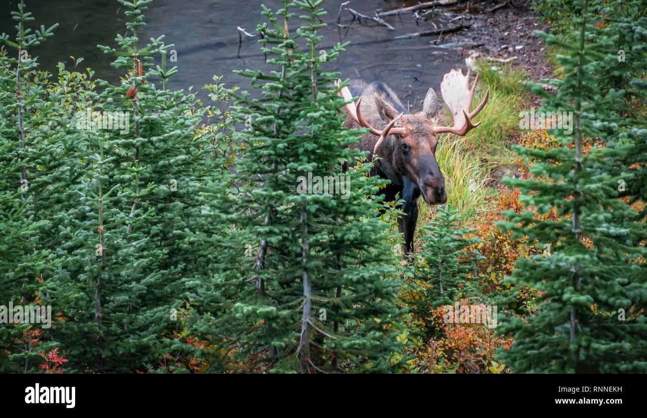 Elk (Alces alces) mira a través de los árboles, dos Superiores Medicine Lake, el parque nacional de Glacier, Montana, EE.UU. Foto de stock