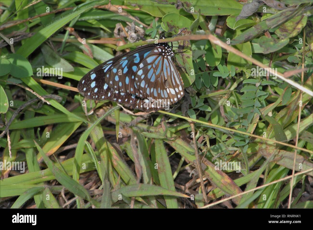 Monarca (Danaus limniace azul) en una iluminación en el Kaya Kinondo, Kenya Foto de stock