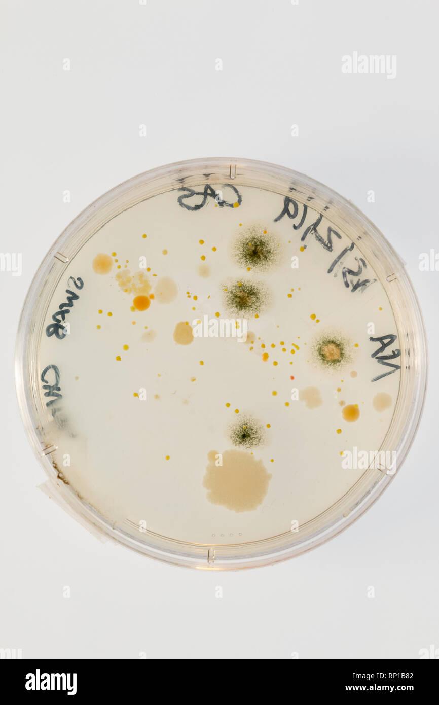 Los microbios crecen en una placa de agar después de tomar un hisopo de una silla escolar Foto de stock