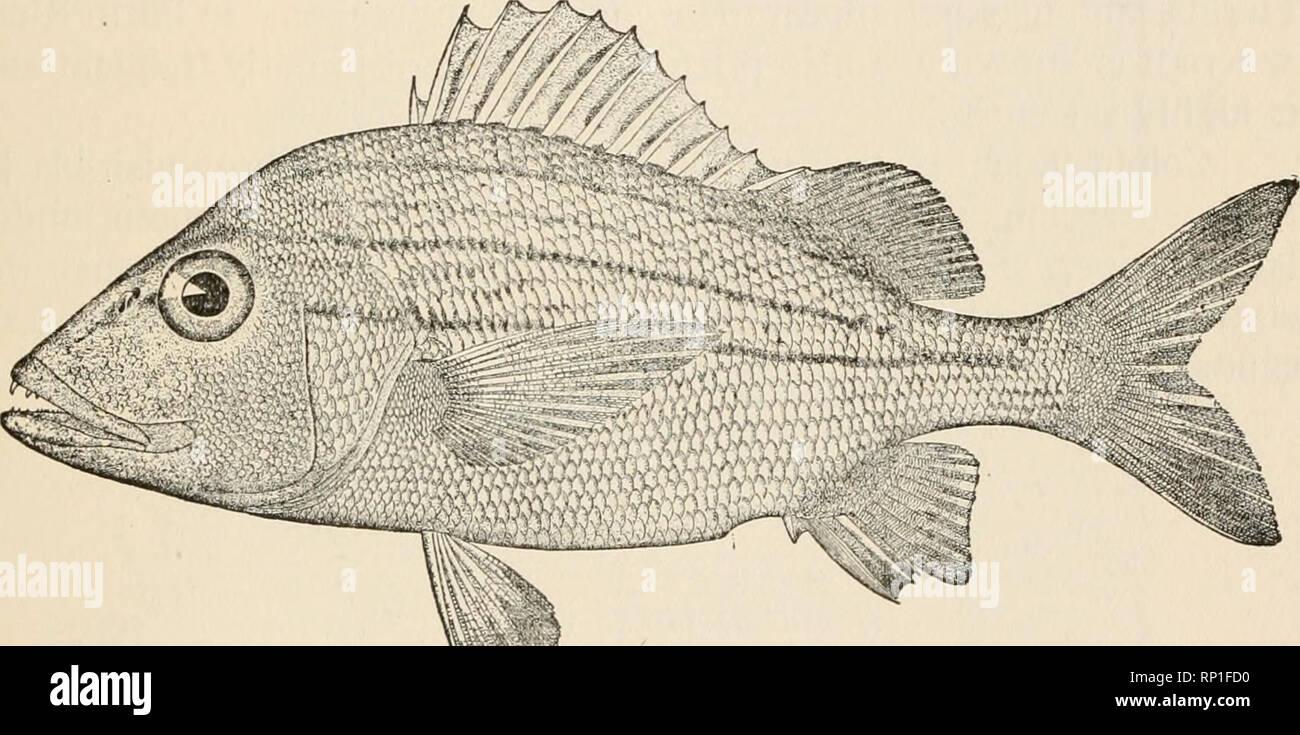 . Comida Americana y peces de juego. Un relato popular de todas las especies encontradas en América al norte del ecuador, con claves para identificación, historias de vida y los métodos de captura. Los peces -- América del Norte. Ronco gruñido rayas grises; en la vida, de color blanco nacarado, olivaceous encima y a los lados, algunos- lo siguiente azulado; bordes de escalas superiores más oscuro; pequeñas manchas blanquecinas sobre centros de escalas entre la nuca y pectoral; una raya marrón desde el hocico, siguiendo la curva de la espalda y termina en el último rayo de suave dorsal; otro de frente, arriba de los ojos, curvando hacia arriba a través de lado, y luego hacia abajo, y debajo de la Foto de stock