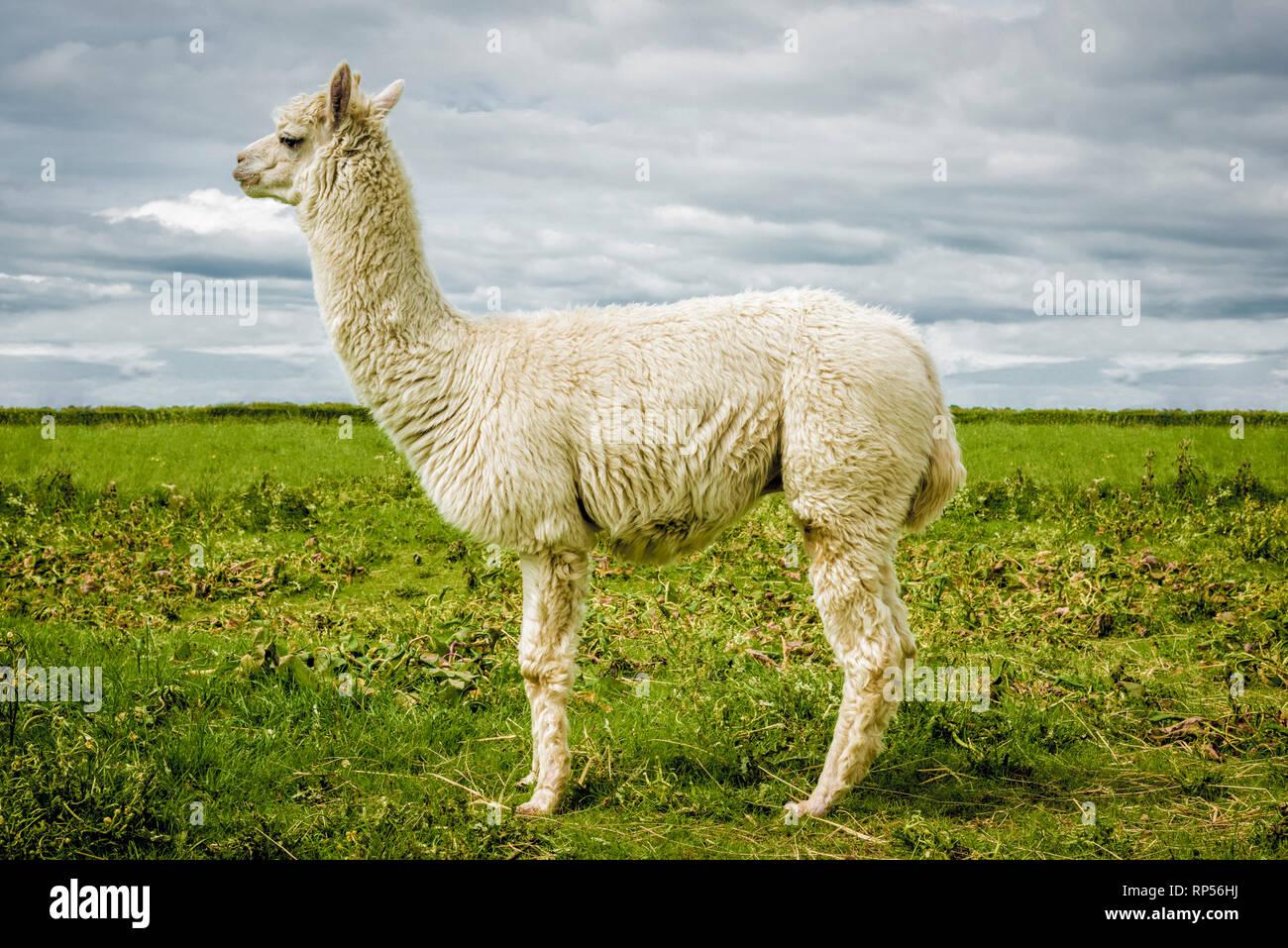 La Alpaca (Vicugna pacos) - una especie de camélido sudamericano. Foto de stock