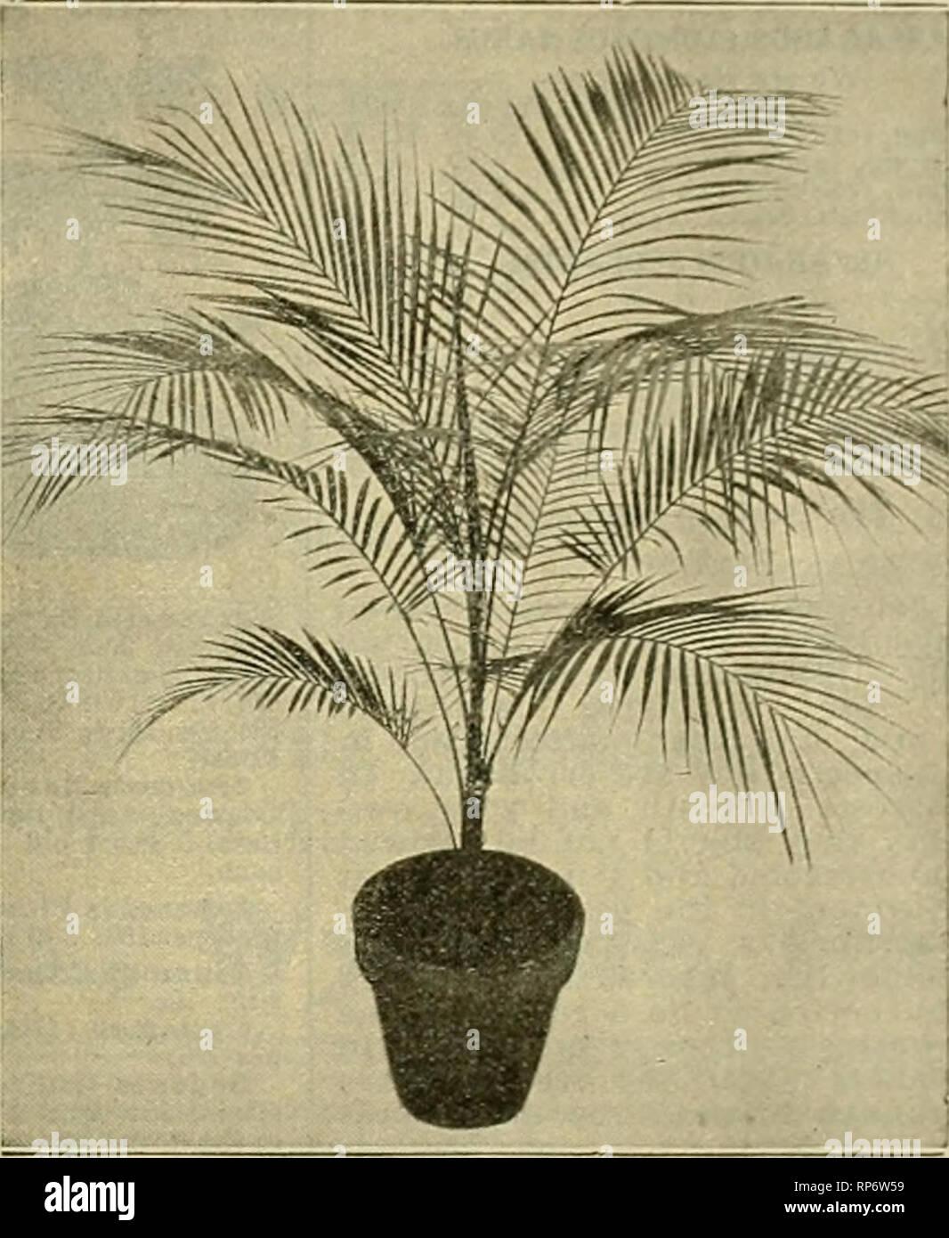 Altura 100-125 cm Planta verde F/ácil mantenimiento Planta de interior Palmera Areca 100 cm, color blanco Planta de interior en maceta