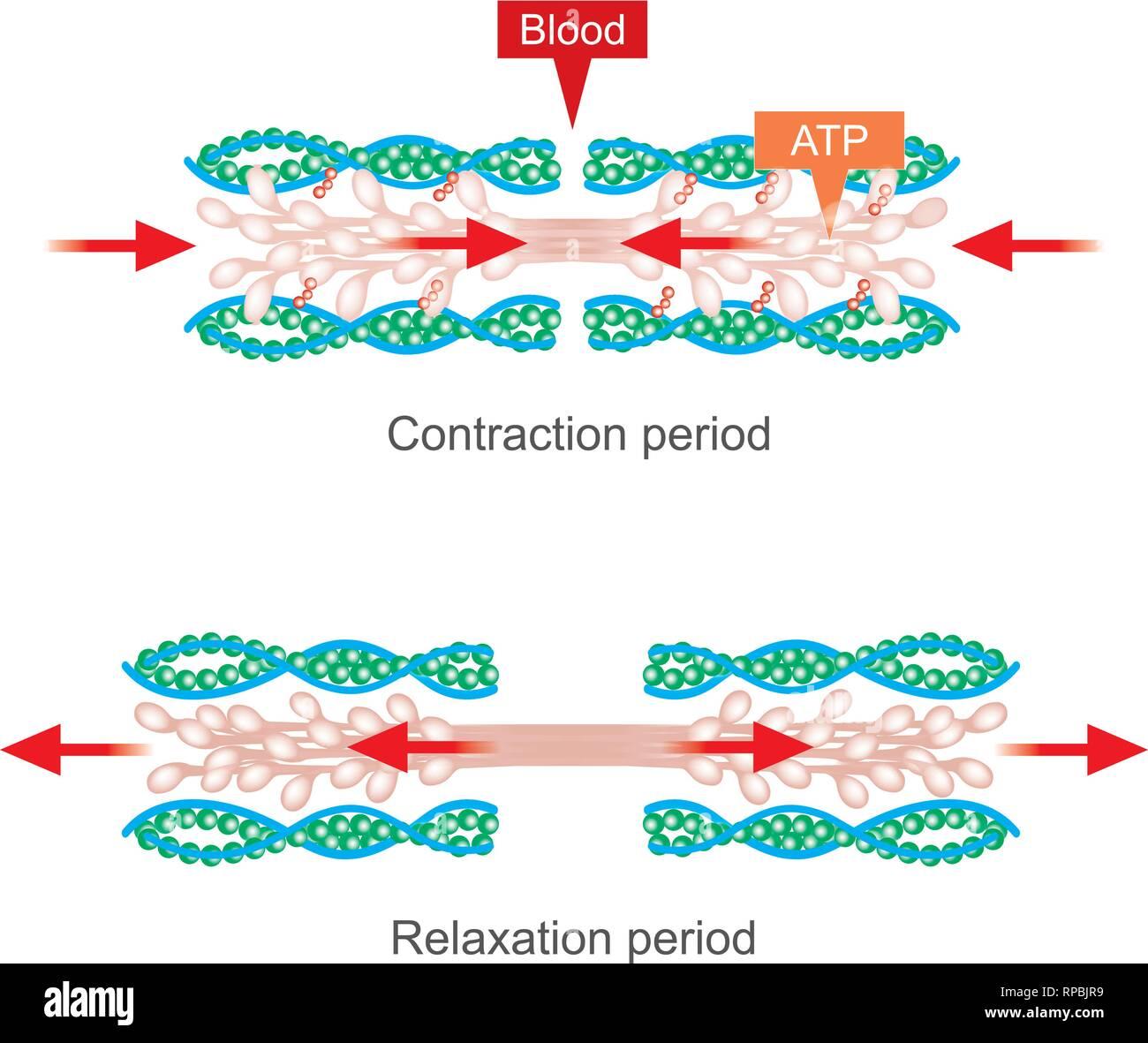 La contracción muscular como resultado de impulsos nerviosos provocó una reacción bioquímica que provoca la miosina para pegarse a la actina. Cuerpo Humano infográfico. Imagen De Stock
