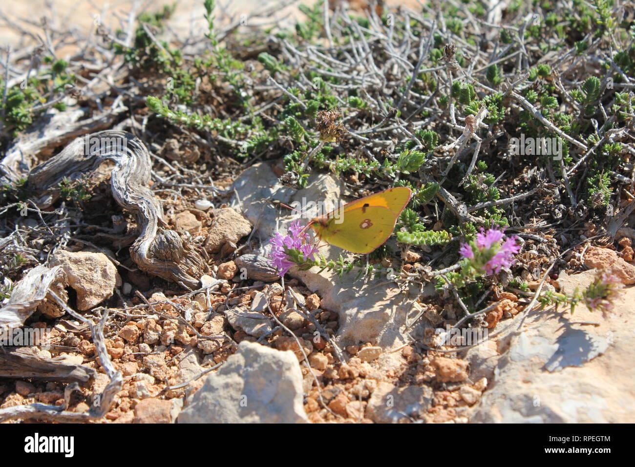 Amarillo (Colias croceus nublado), Marfa, Malta Foto de stock