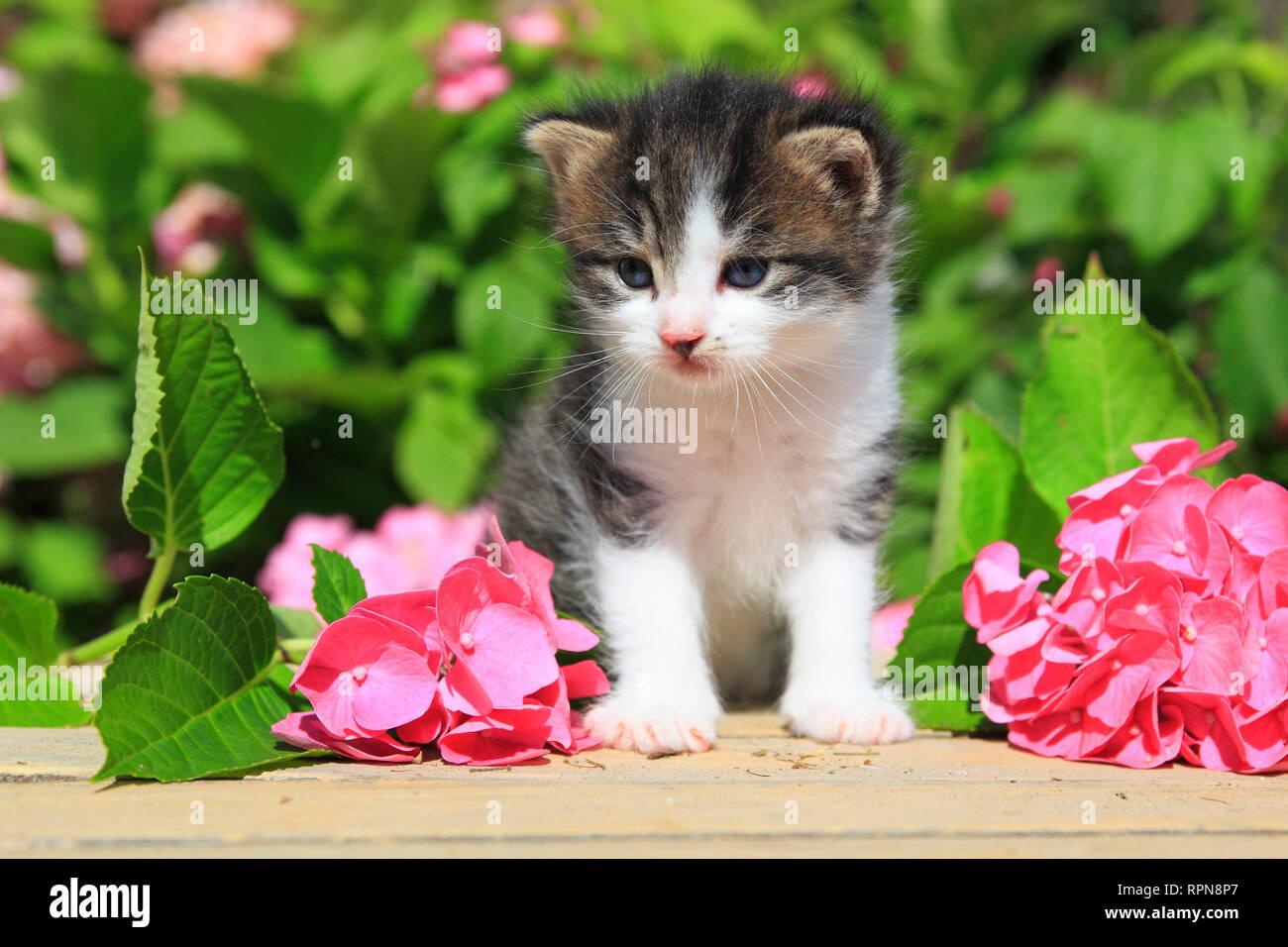 Zoología / animales, mamíferos (Mammalia), gatito, animales domésticos, Suiza, Additional-Rights-Clearance-Info-Not-Available Foto de stock