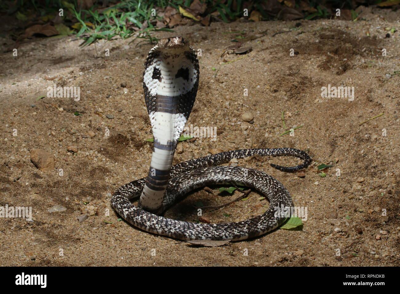 La Cobra india (Naja naja) Foto de stock