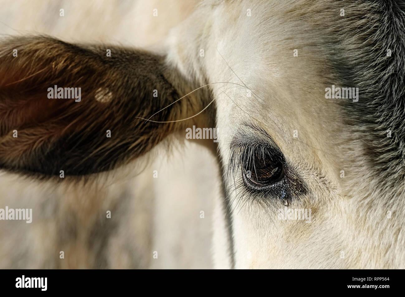 Vaca con lágrimas en los ojos cerrar Foto de stock