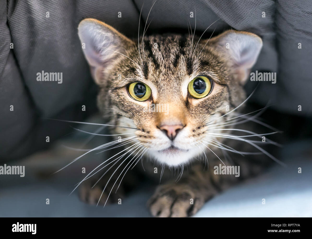Una tímida Domestic Shorthair gato atigrado esconderse bajo una manta Imagen De Stock