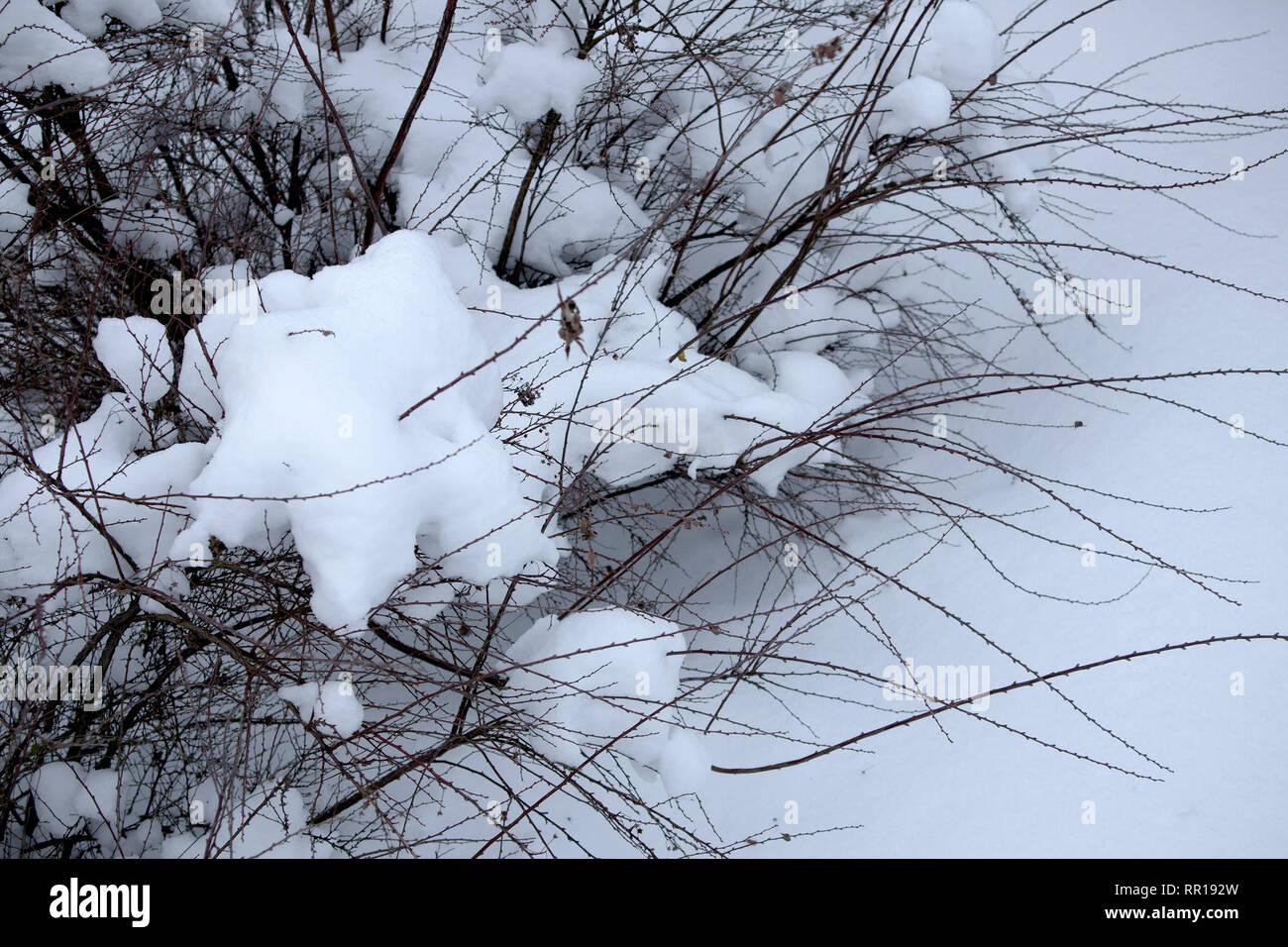 Entrelazado de pequeño arbusto desnudo ramas cubiertas de nieve. El estado de ánimo de invierno Imagen De Stock