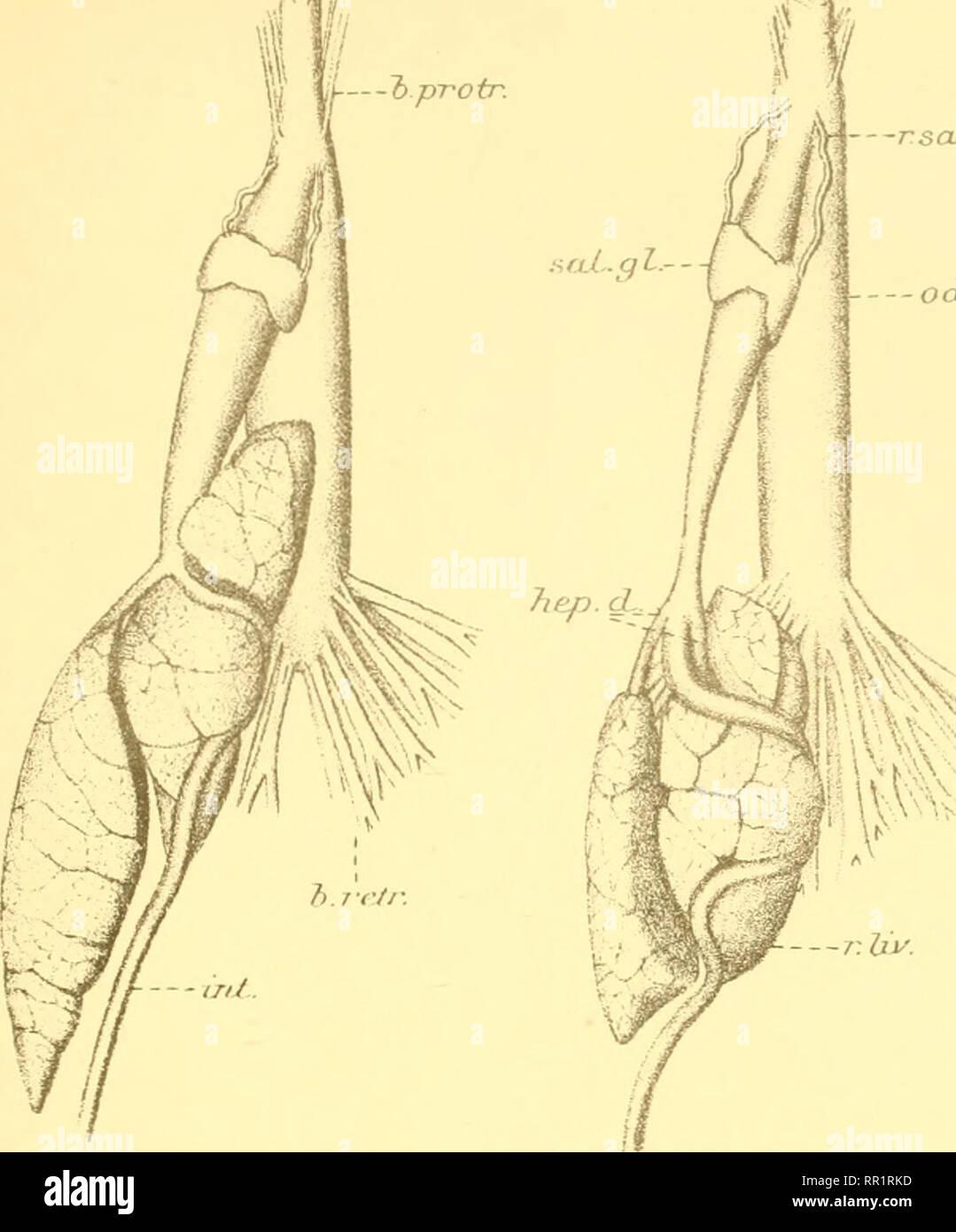 """. Invertebrados africana : una revista de investigación de la biodiversidad. Los invertebrados -- África; la diversidad biológica -- África; la diversidad biológica. Ann.NatalMus.Vol.lU 11/, j'bprotr iil--. PI. XXI. c*^ rsaZ.d.. ----OdL. Cultivo 1 6, .V.^^v- P ul I 12M.--, 129 x 2 A.gib""""bonsi s.S- 130 xi^A UN gruljella. -Ocl. Cosecha. Por favor tenga en cuenta que estas imágenes son extraídas de la página escaneada imágenes que podrían haber sido mejoradas digitalmente para mejorar la legibilidad, la coloración y el aspecto de estas ilustraciones pueden no parecerse perfectamente a la obra original. Museo de Natal (Pietermaritzburg, Sudáfrica). Consejo. Pieterma Foto de stock"""